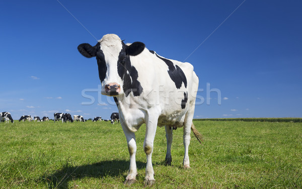 cow on green grass with blue sky Stock photo © vwalakte