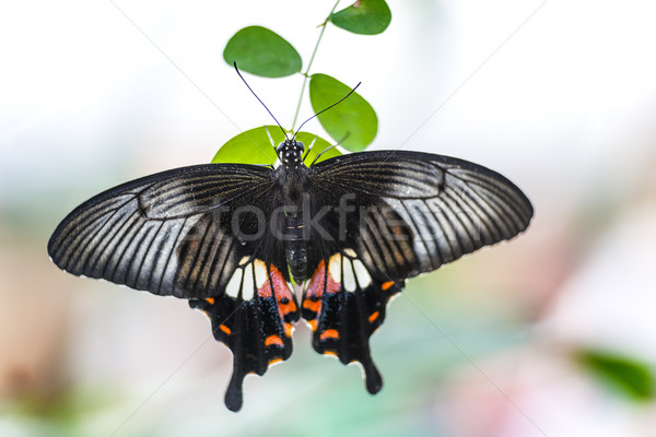 Butterfly papilio bianor Stock photo © w20er
