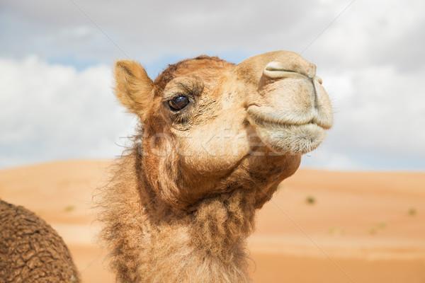 Teve Omán kép sivatag égbolt baba Stock fotó © w20er