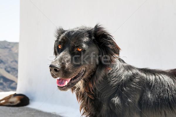 Preto cão santorini imagem ilha Foto stock © w20er