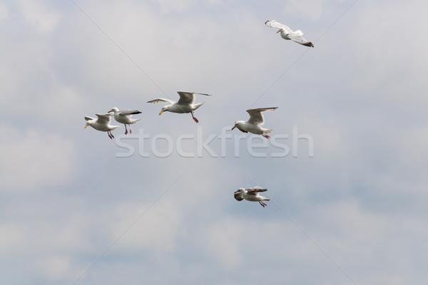 Voador gaivota quadro gaivotas nuvens céu Foto stock © w20er