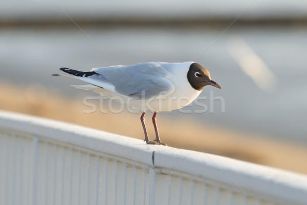 Gull Stock photo © w20er