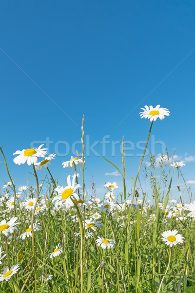 Meadow with marguerites Stock photo © w20er