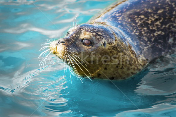 Gray seal in blue water Stock photo © w20er