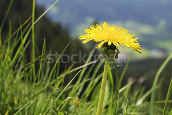Dandelion Breitenstein Bavaria Alps Stock photo © w20er