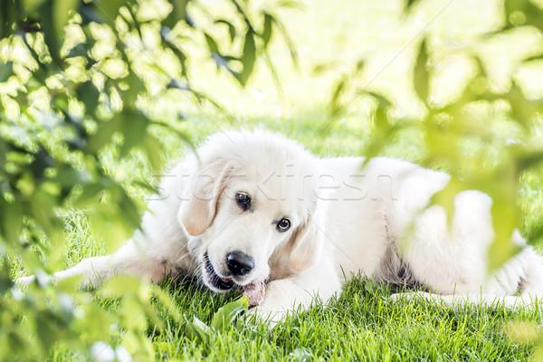 Golden retriever tuin foto jonge hond natuur Stockfoto © w20er