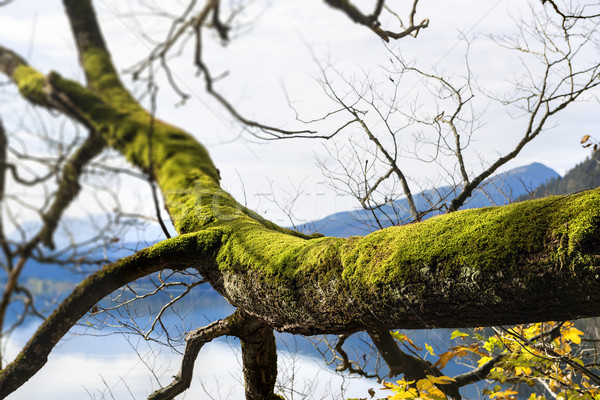 branch with moss Stock photo © w20er