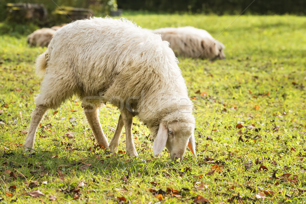 Grazing sheep in autumn Stock photo © w20er