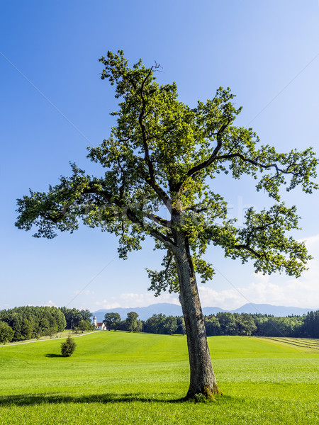 Tree in typical Bavarian landscape Stock photo © w20er