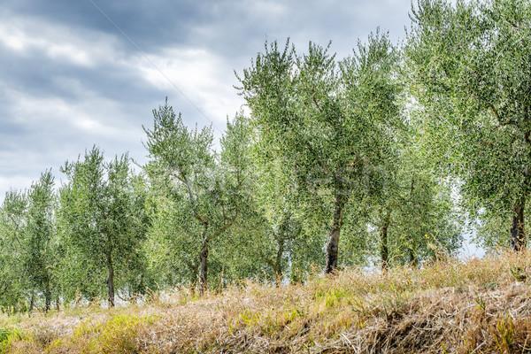 Olive trees Tuscany Stock photo © w20er