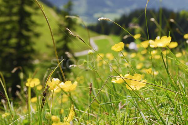 Buttercups Bavaria Alps Stock photo © w20er