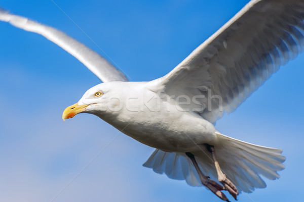 Seagul with blue sky Stock photo © w20er
