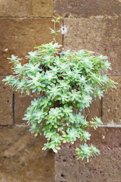 Plant on wall Tuscany Stock photo © w20er