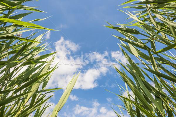 Green reeds against blue sky Stock photo © w20er