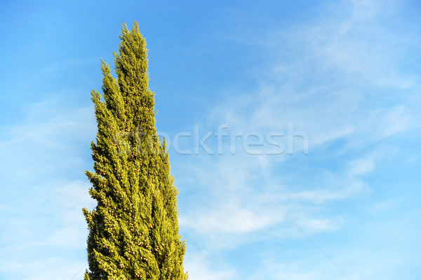 Cypress with blue sky Stock photo © w20er