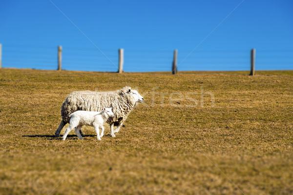 Stock fotó: Birka · bárány · napos · idő · tavasz · fa · nyár