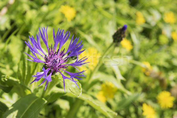 бакалавр кнопки Альпы цветок горные Германия Сток-фото © w20er