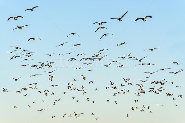Flock of black-headed gulls Stock photo © w20er