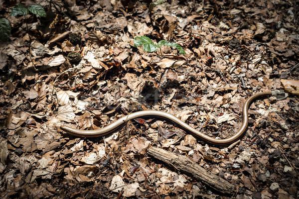 blindworm Stock photo © w20er