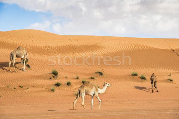 верблюда Оман изображение три Верблюды пустыне Сток-фото © w20er