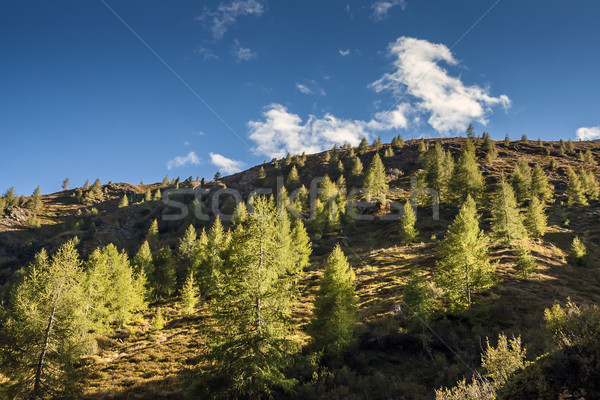 Hill with trees in South Tirol Stock photo © w20er