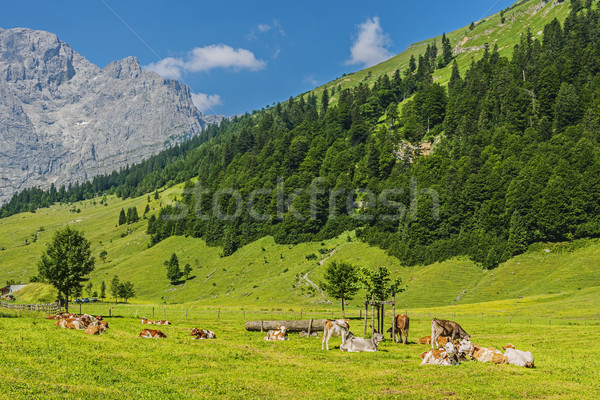 Flock of cows in alps Stock photo © w20er