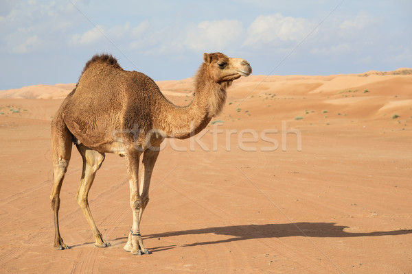 Stock photo: Camel in Wahiba Oman