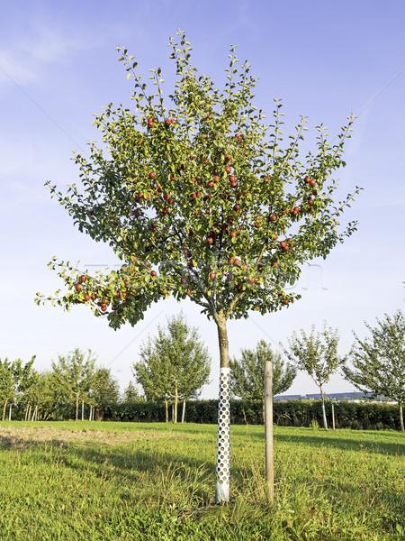 Resim elma ağacı yeşil çayır gıda elma Stok fotoğraf © w20er