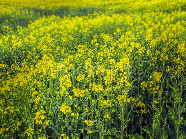 Violación campo planta producción flor Foto stock © w20er