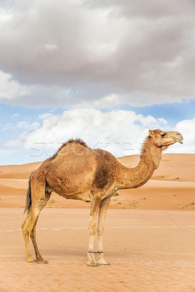 Stock photo: Camel in Wahiba Oman