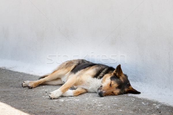 сонный собака Санторини изображение острове Греция Сток-фото © w20er