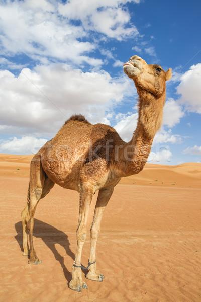 Camello Omán imagen desierto cielo bebé Foto stock © w20er