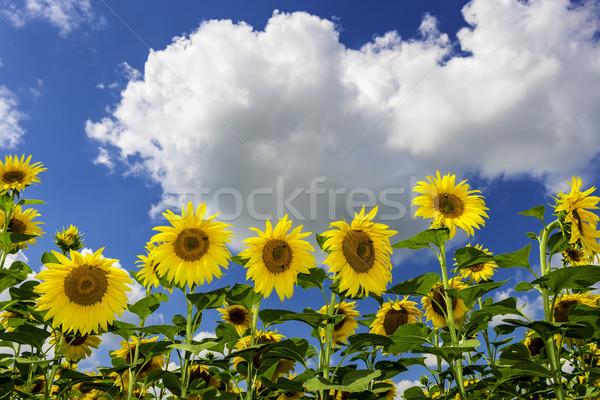 Foto stock: Campo · girassóis · verão · blue · sky · branco · nuvens