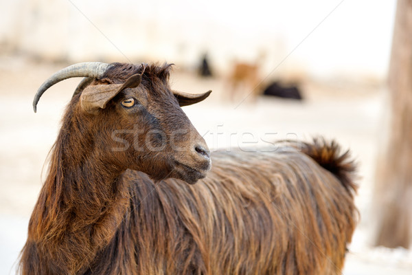 Оман коза изображение улице природы парка Сток-фото © w20er