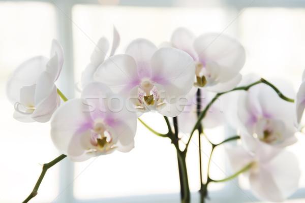 Foto stock: Branco · orquídeas · janela · flor · natureza · beleza