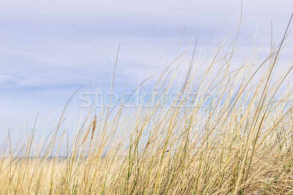Dune grass on the Baltic Sea Stock photo © w20er