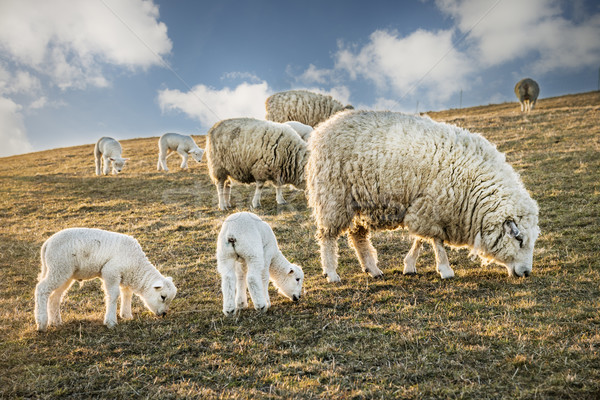 Flock of sheep and lambs Stock photo © w20er