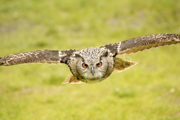Vliegen oehoe foto natuur vogel portret Stockfoto © w20er