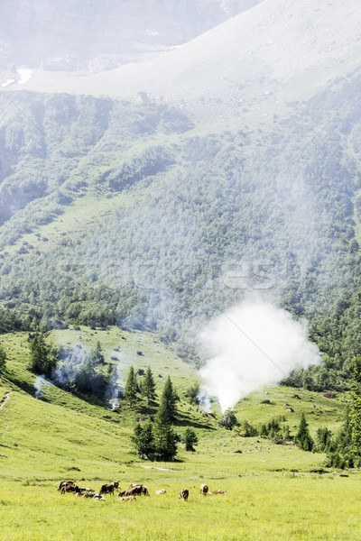 Fumée alpes Autriche vaches sauvage feu Photo stock © w20er