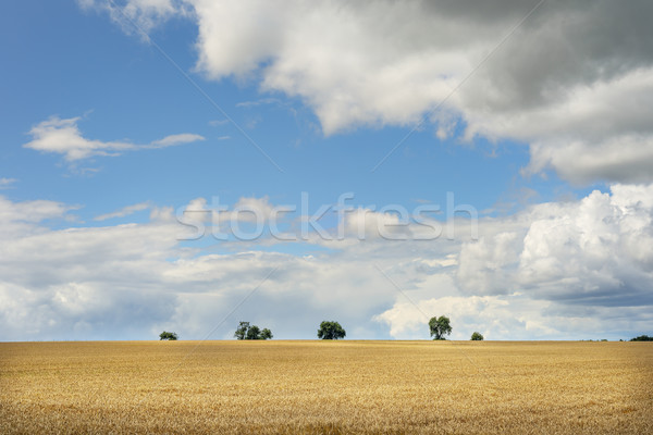 Romantica panorama immagine campo di grano bianco nubi Foto d'archivio © w20er