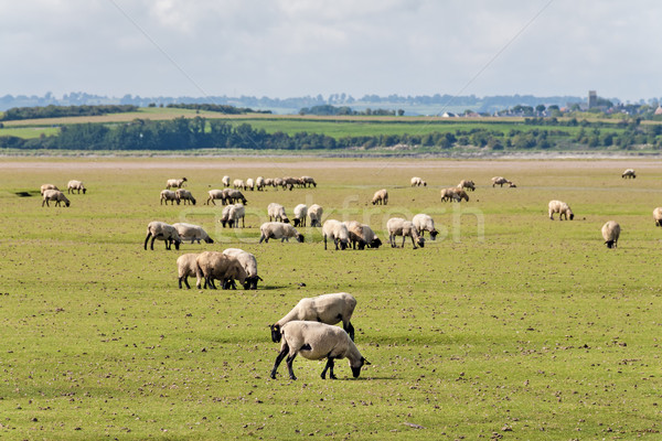 Sheep in Normandy Stock photo © w20er