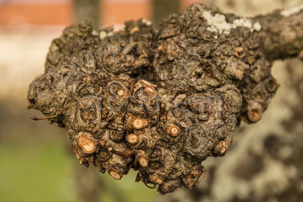 Rama árbol invierno textura madera naturaleza Foto stock © w20er