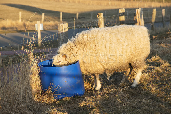 sheep drinking from bucket Stock photo © w20er