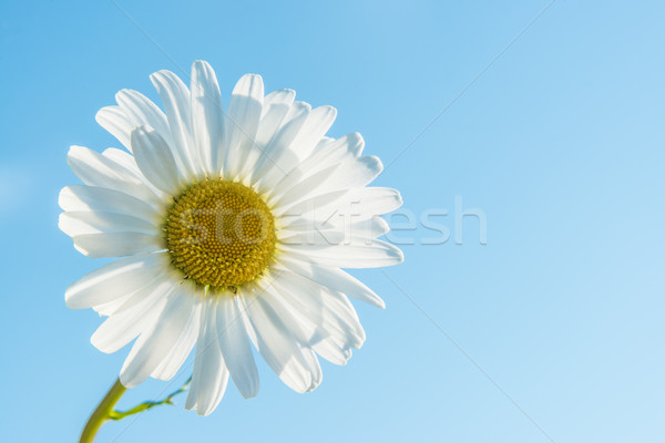 Marguerite backlit Stock photo © w20er