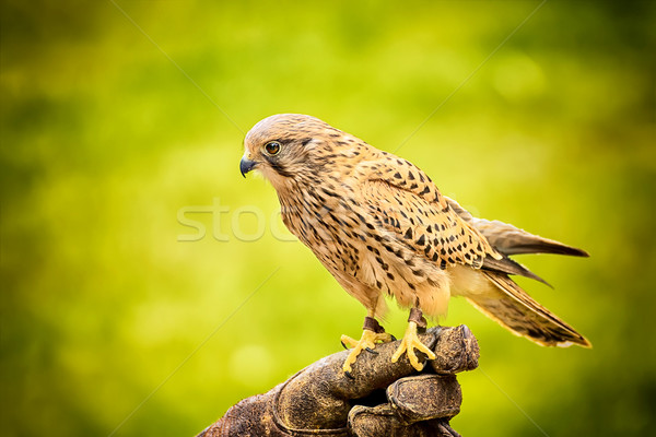 sitting hawk Stock photo © w20er