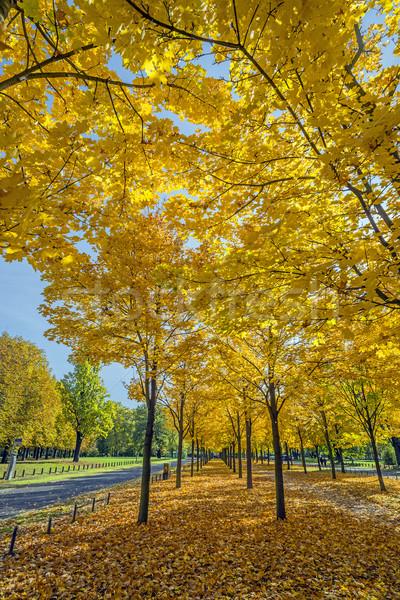 黄色 木 ドレスデン ドイツ カラフル 葉 ストックフォト © w20er