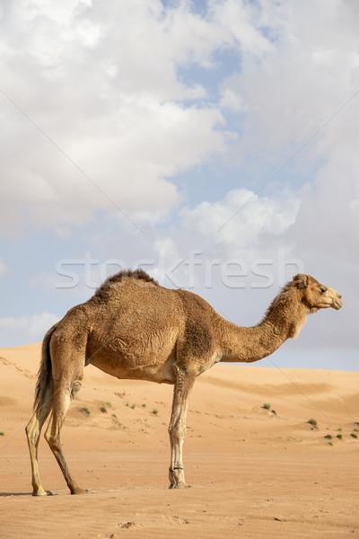 верблюда Оман изображение пустыне небе ребенка Сток-фото © w20er