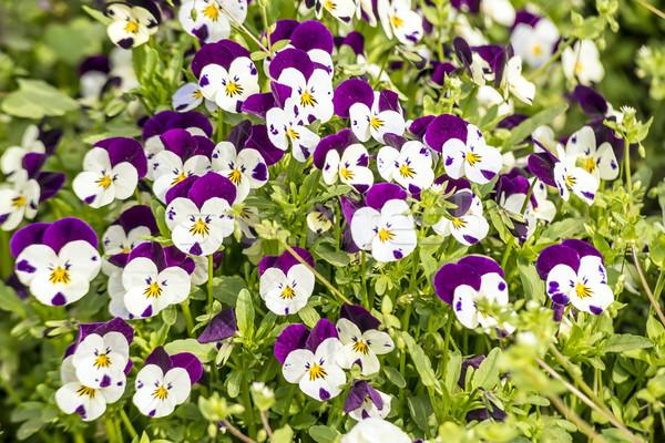 Bloemen tuin voorjaar natuur blad groene Stockfoto © w20er