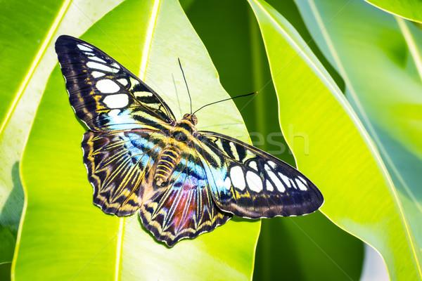 Bộ sưu tập cánh vẩy 6 - Page 3 4011492_stock-photo-butterfly-morpho-richardius