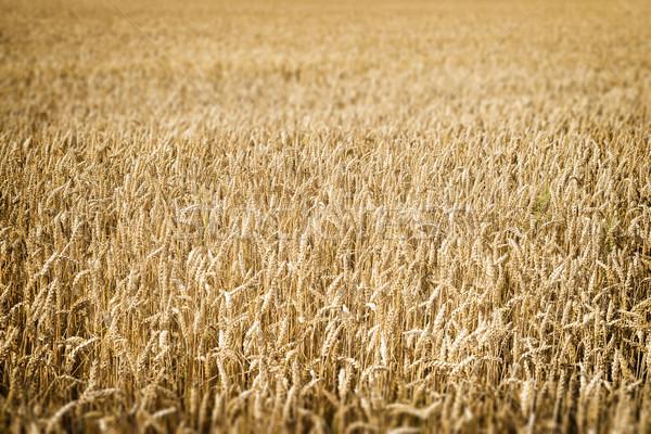 Korenveld afbeelding natuur landschap aarde Stockfoto © w20er